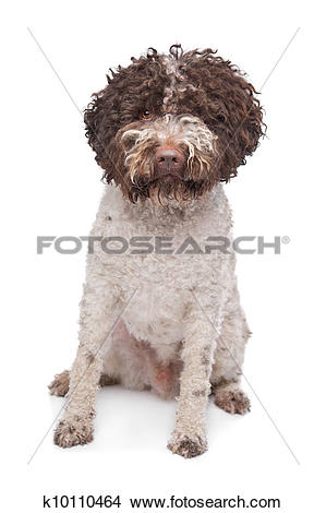 Stock Photo of lagotto romagnola k10110464.