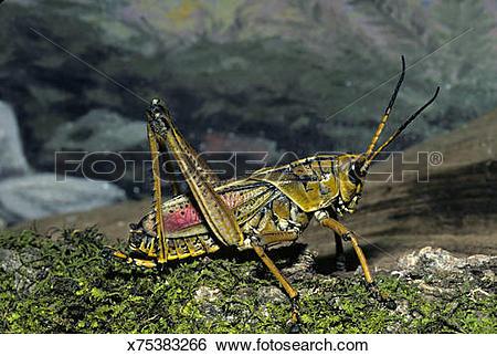 Stock Images of Southeastern Lubber Grasshopper, Romalea.