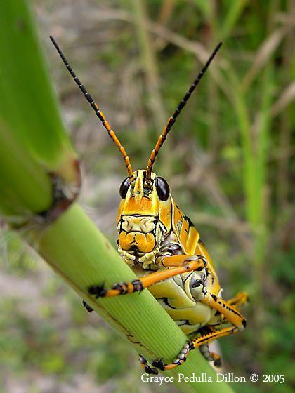 Mature Lubber Grasshopper.