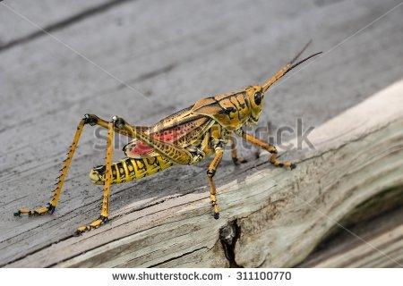 Lubber Grasshopper Stock Photos, Royalty.