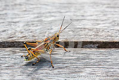Oversized American Grasshopper; Incredible Design Stock Photo.