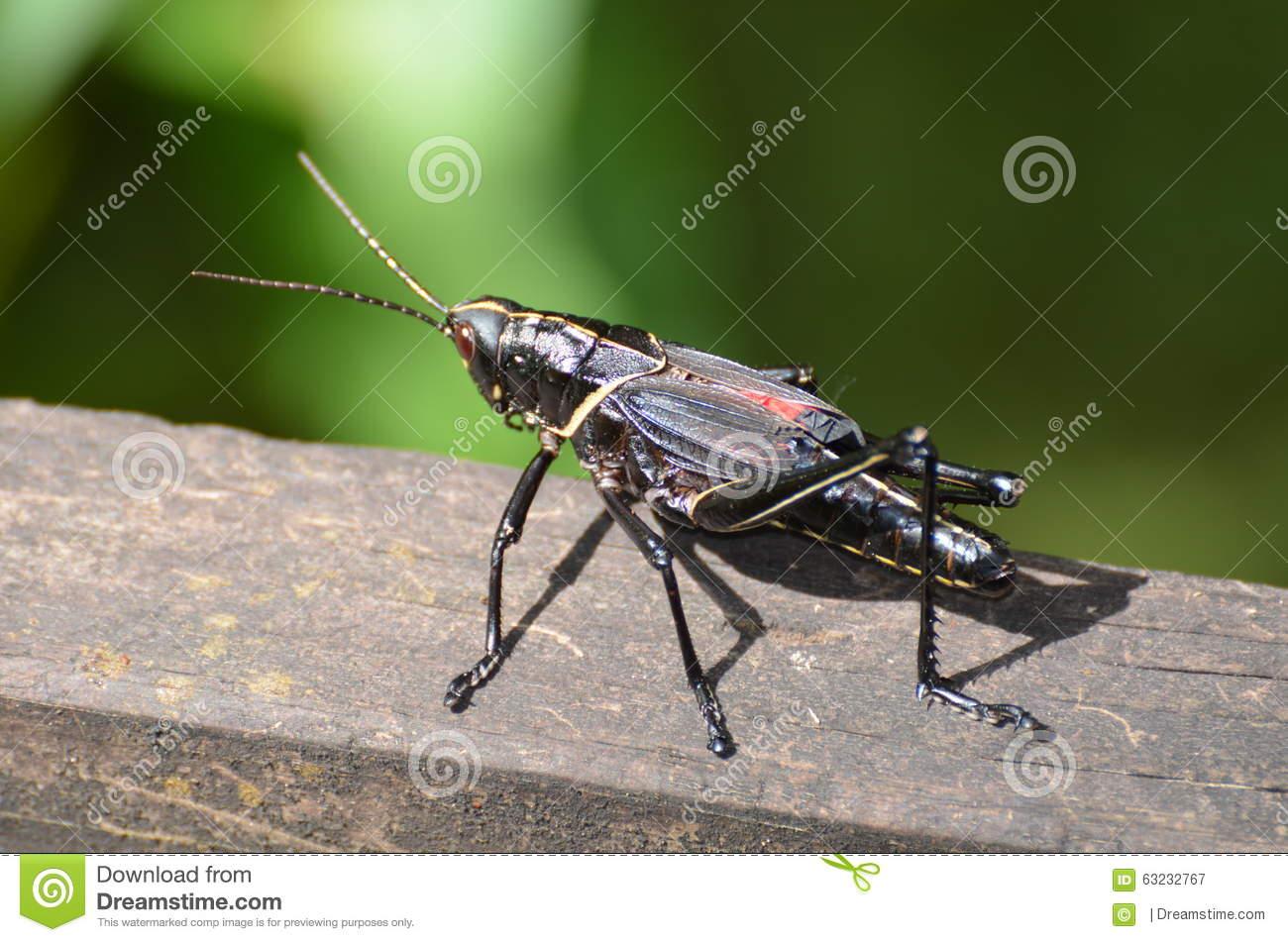 Romalea Microptera Romalea Microptera Black Grasshopper In.
