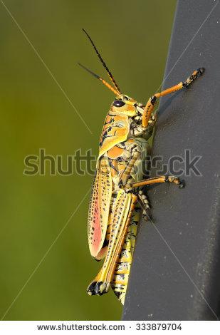 Romalea Microptera Stock Photos, Royalty.