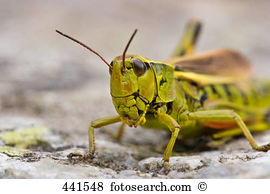 Lubber grasshoppers Stock Photo Images. 75 lubber grasshoppers.