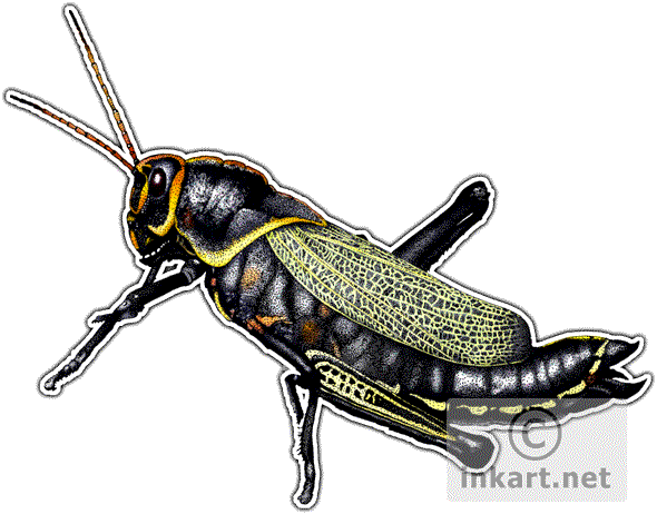 Western Horse Lubber Grasshopper (Taeniopoda eques) Line Art and.