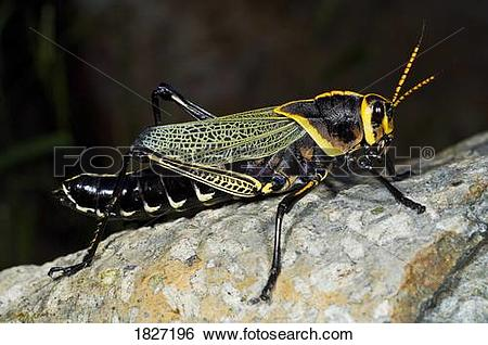 Stock Images of A lubber grasshopper (Romaleidae) 1827196.