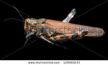 Arthropoda Clase: Insecta Orden: Orthoptera Familia: Romaleidae.