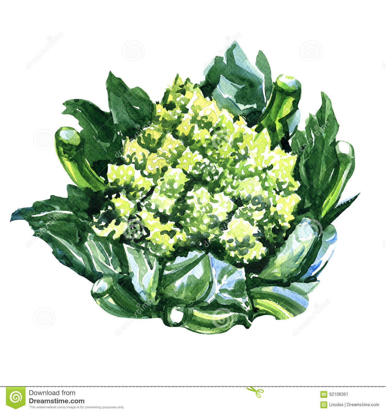 Green Fresh Romanesco Broccoli, Or Roman Cauliflower Stock.