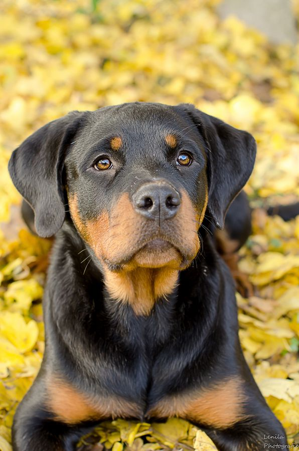 17 Best images about Rottweiler on Pinterest.