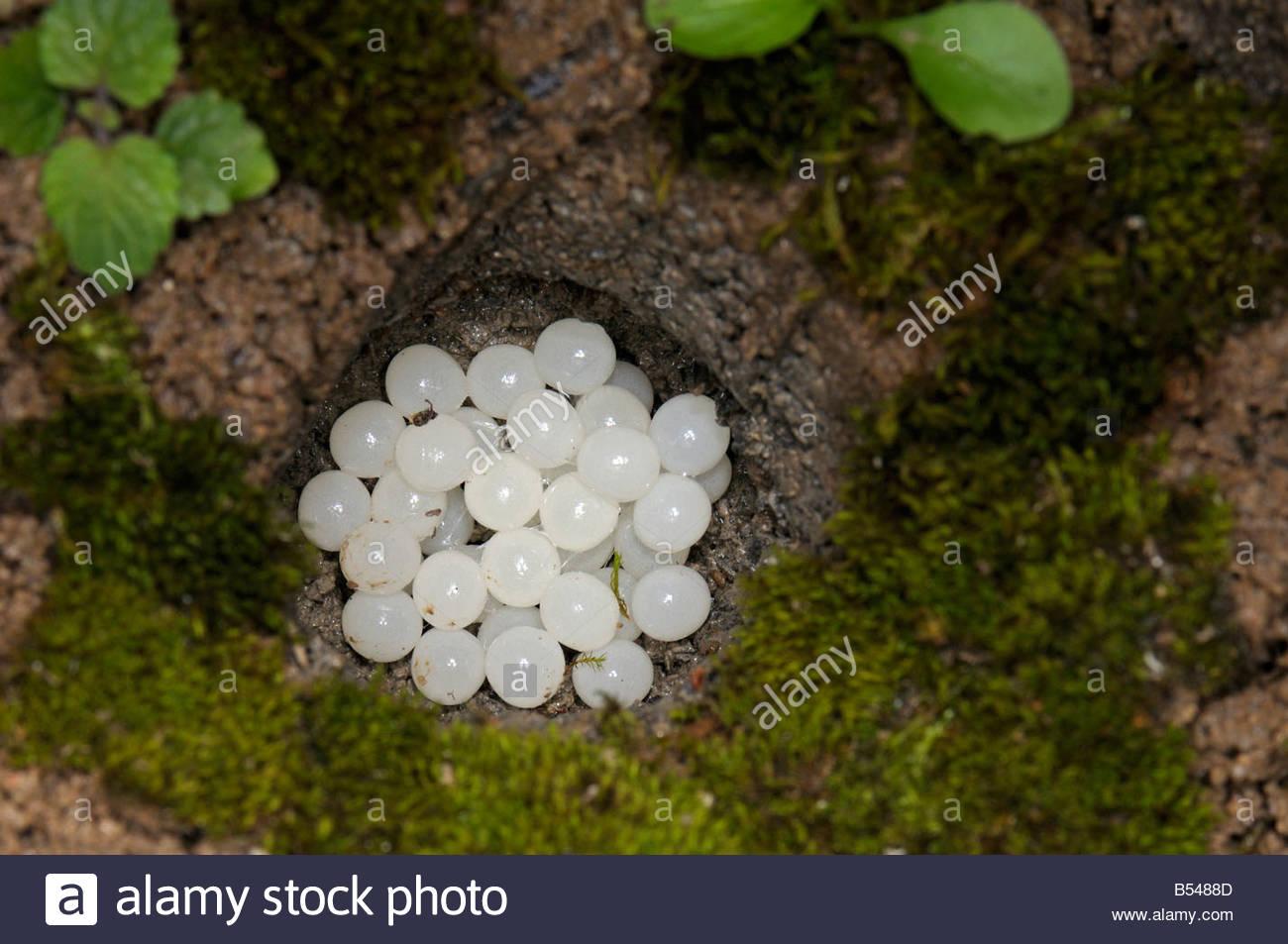Roman Snail, Escargot Snail, Edible Snail (helix Pomatia), Eggs.