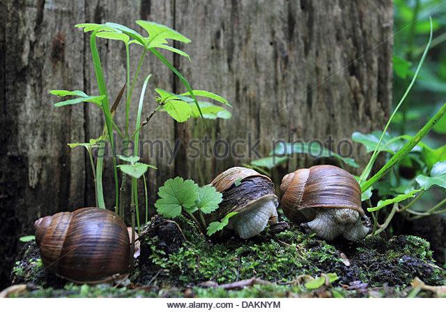 Vineyard Snail Stock Photos & Vineyard Snail Stock Images.