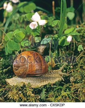 Roman Snail Stock Photos & Roman Snail Stock Images.