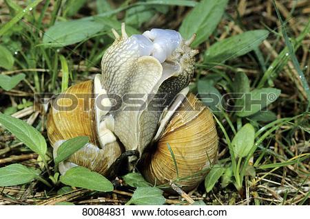 Stock Photography of DEU, 2005: Roman Snail, Escargot, Edible.
