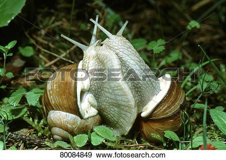 Stock Photograph of DEU, 2002: Roman Snail, Escargot Snail.