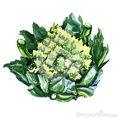 Romanesco Stock Illustrations.