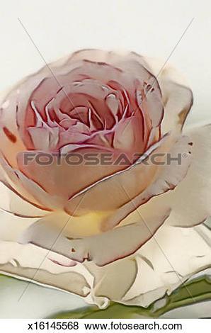 Pictures of Climbing Romantica Rose Eden x16145568.
