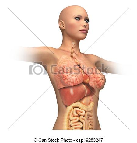 Tekening van lichaam, vrouw, romp, Interieur, organen, Opgelegde.