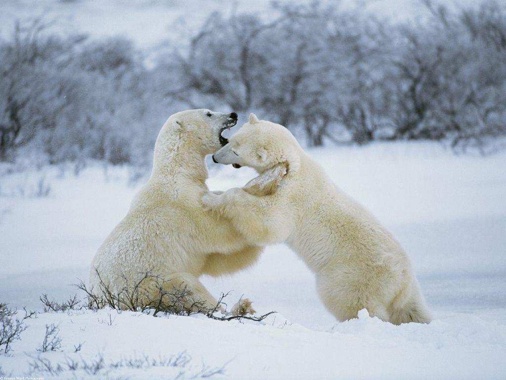 Polar Bear Pictures.