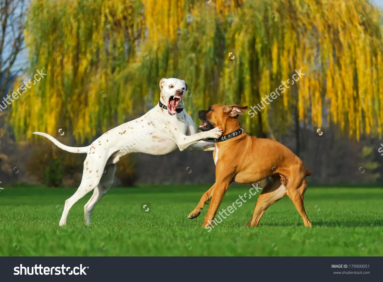 Dalmatian Color Lemon German Boxer Dogs Stock Photo 179900051.