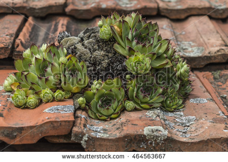 "sempervivum_tectorum"" Stock Photos, Royalty."