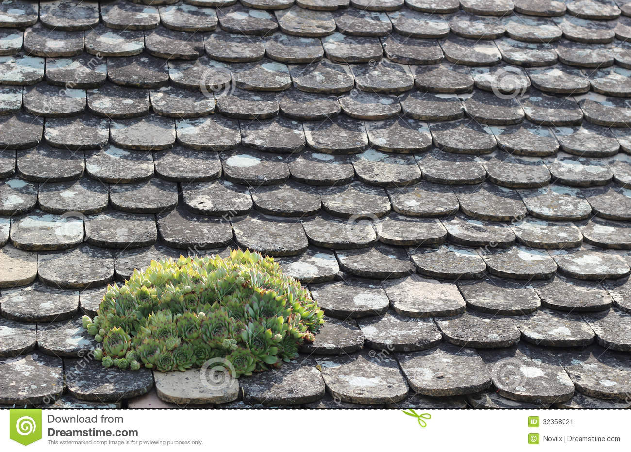 Houseleek On A Roof Stock Image.