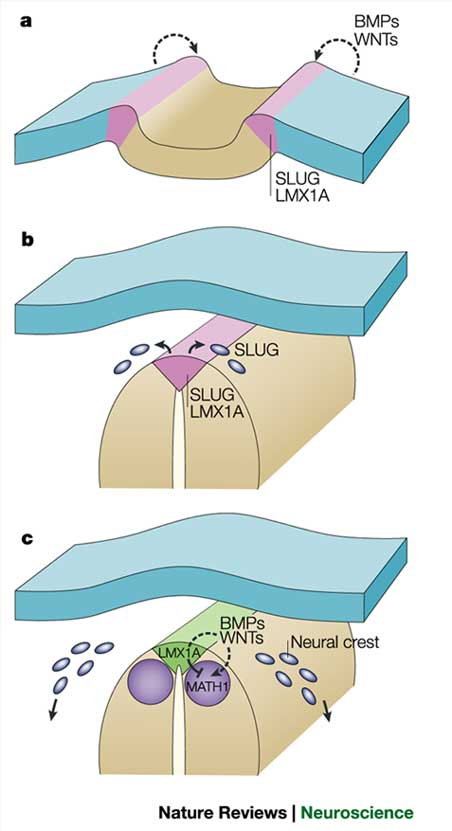 Figure 3 : Mechanisms of roof plate formation in the vertebrate.