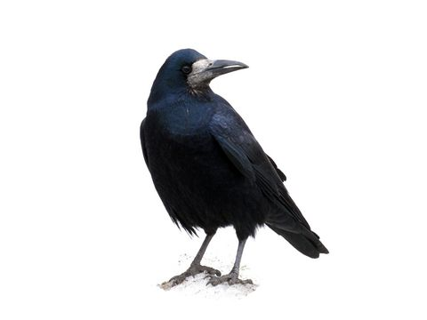 1000+ images about Crows on Pinterest.