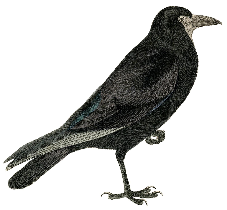Bird Crow Clipart.