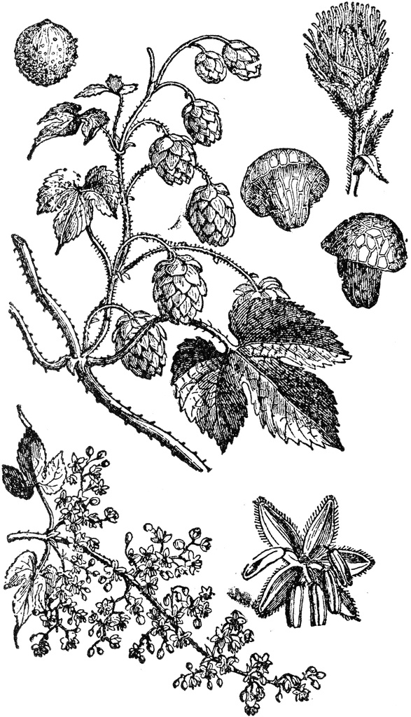 1000+ images about High Hops for Yeast on Pinterest.