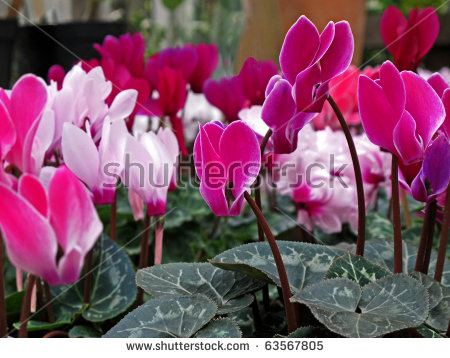 Potted Plants Of Cyclamen With Flowers In Pink Colors. Stock Photo.