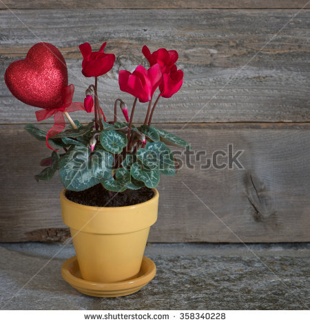 Red Cyclamen Stock Images, Royalty.