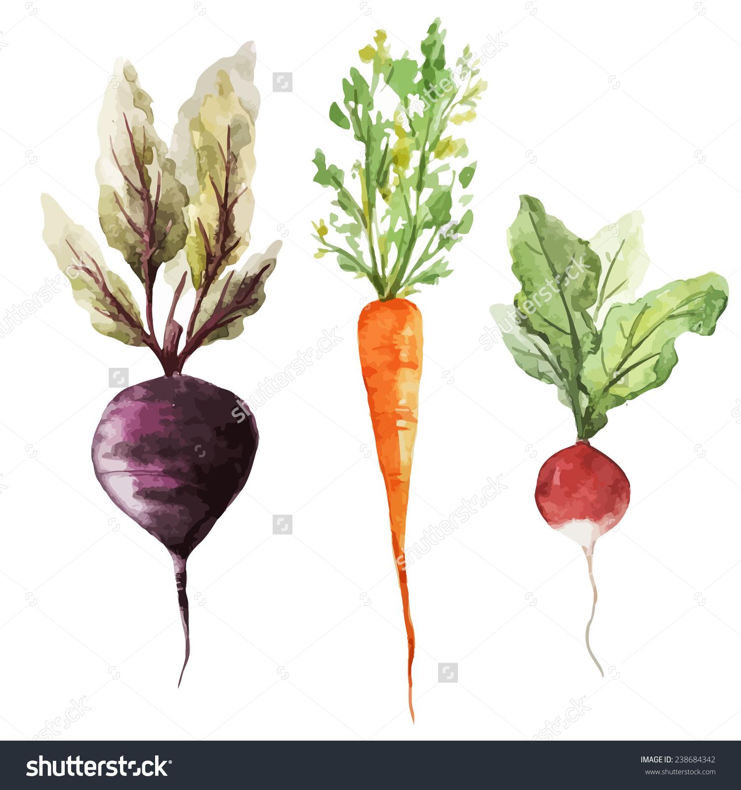 Root Vegetable Watercolor Vegetables Stock Vector 238684342.