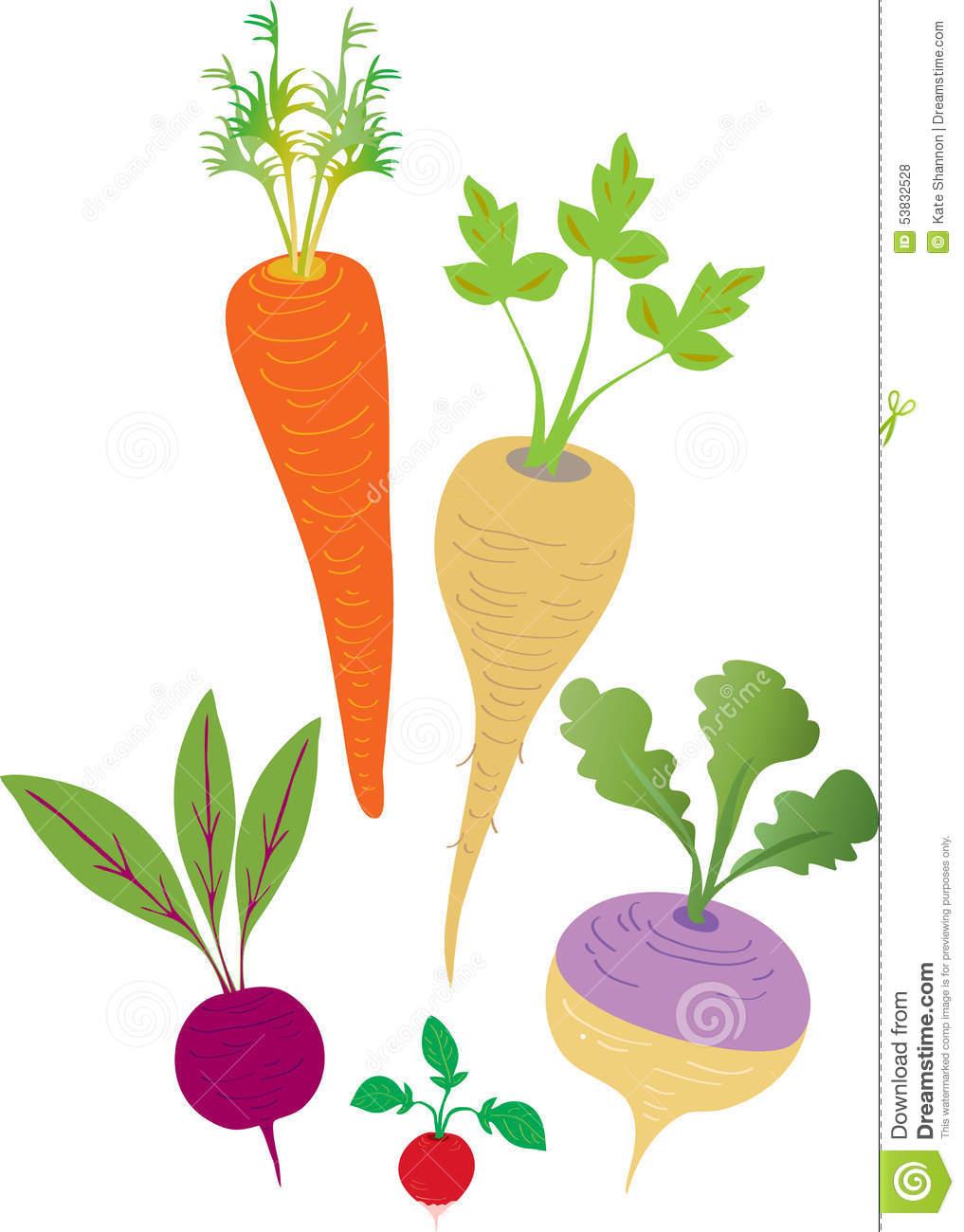 Root Vegetables Stock Vector.