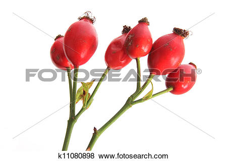 Pictures of Rose hips of the wild rose (Rosa canina) k11080898.
