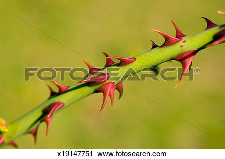 Stock Photography of Thorns on stem of dog rose (Rosa canina.