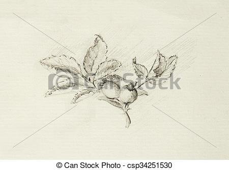 Drawings of pencil drawing on old paper, Rose. Latin name, rosa.