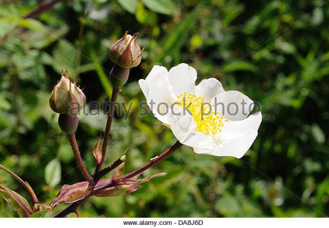 Dog Rose White Stock Photos & Dog Rose White Stock Images.