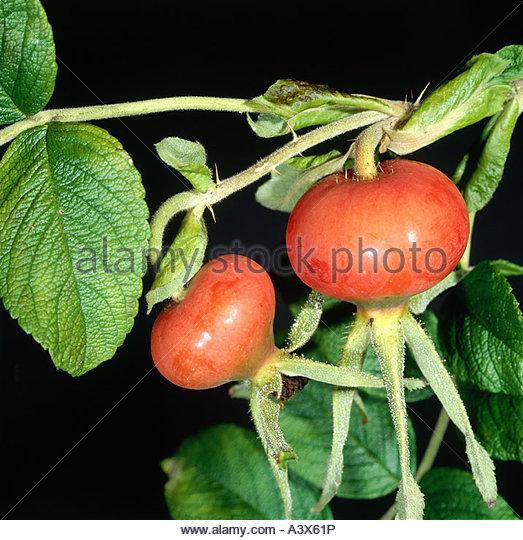 Botany Rosehip Stock Photos & Botany Rosehip Stock Images.