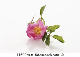 Dog rose Stock Photo Images. 4,449 dog rose royalty free images.