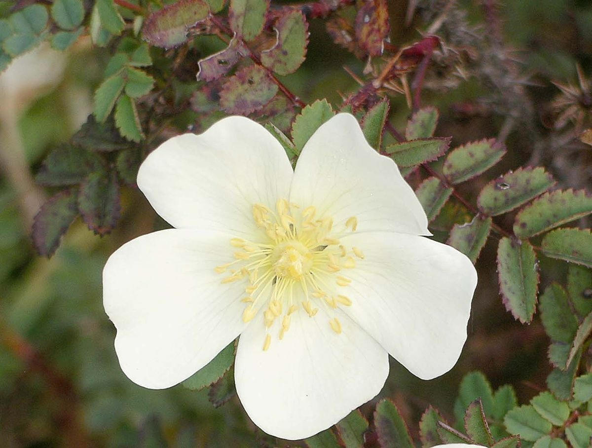 Rosa pimpinellifolia.