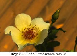 Rosa pimpinellifolia var hispida x joanna hill Stock Photos and.