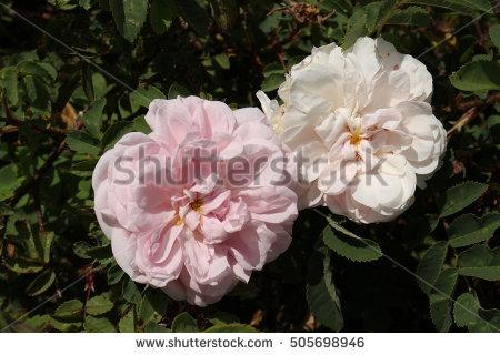 David Austin Roses Stock Photos, Royalty.
