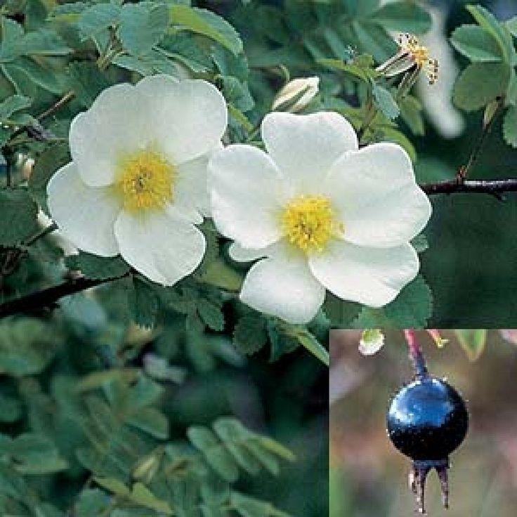 Rosa pimpinellifolia Rosa spinosissima . Burnet rose. A charming.
