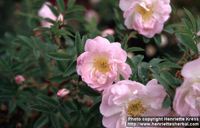 Photo: Rosa pimpinellifolia 15..
