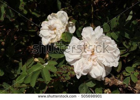 Rosas Stock Photos, Royalty.