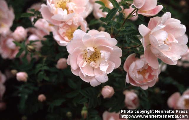 Photo: Rosa pimpinellifolia 09..