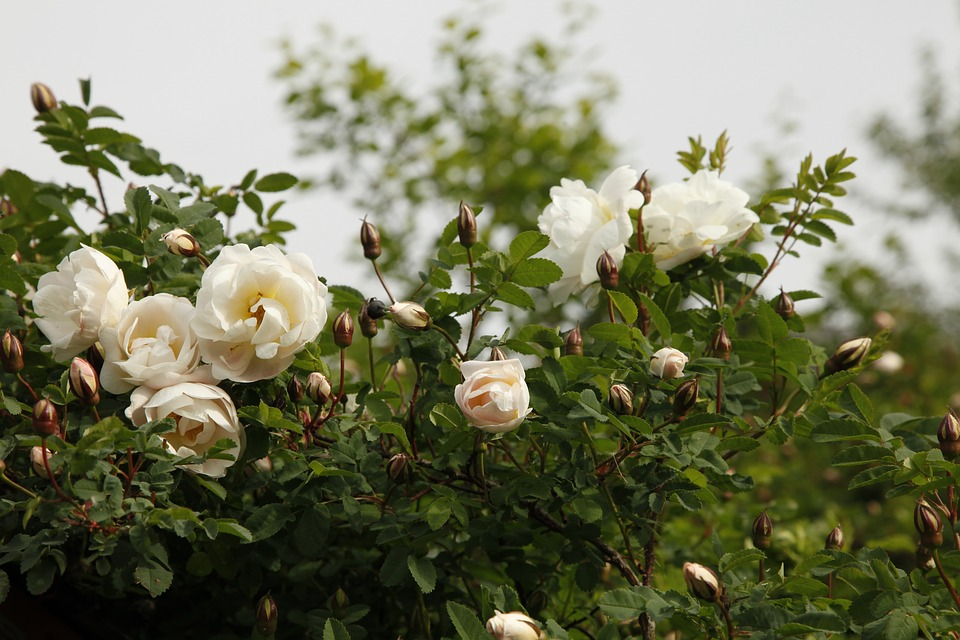 Free photo Midsummer Roses Rosa Pimpinellifolia Plena Flower.