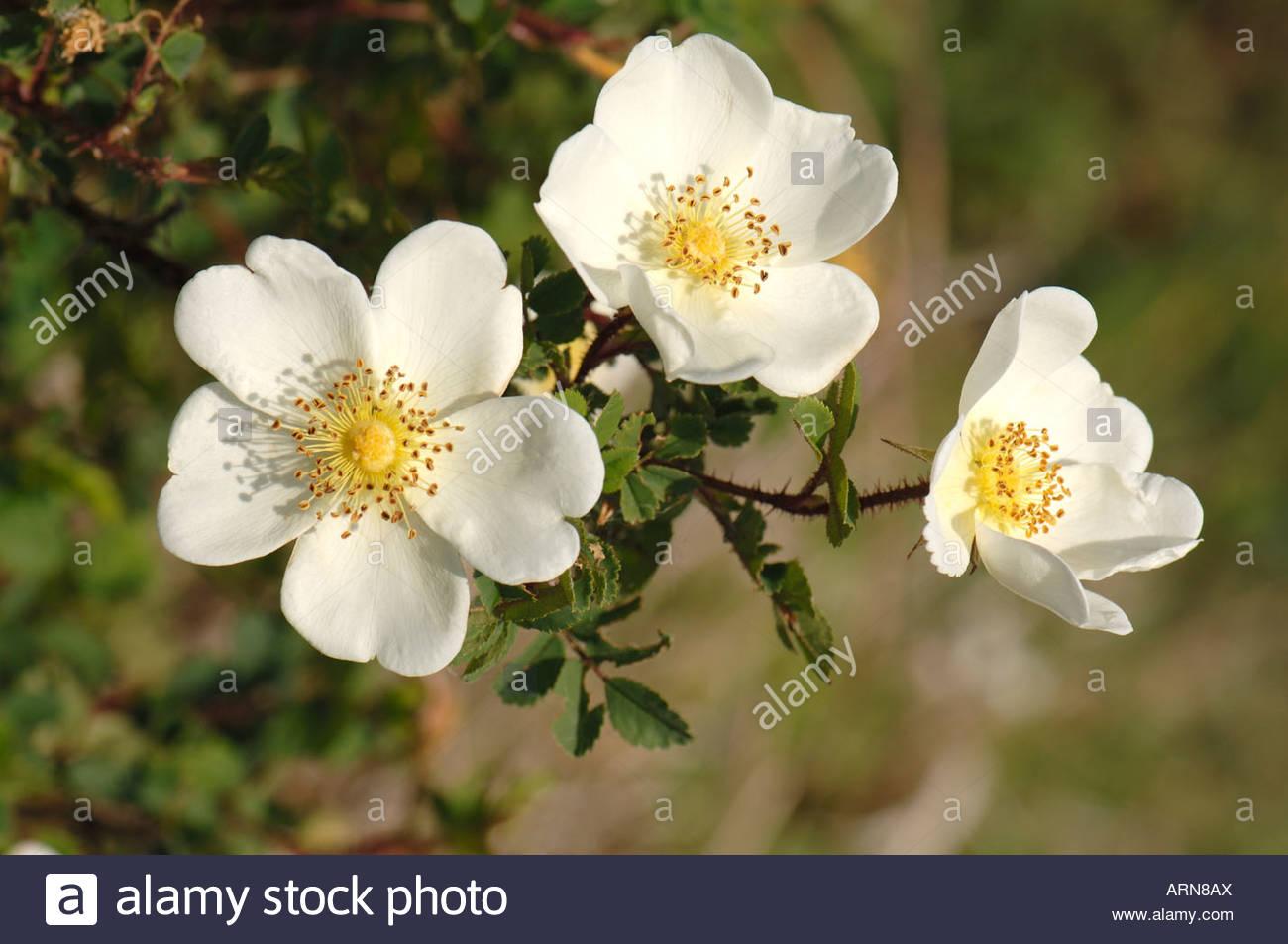 Burnet Rose Scotch Briar Scotch Rose (rosa Pimpinellifolia Rosa.