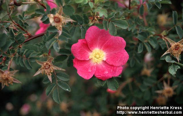Photo: Rosa pimpinellifolia 07..