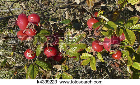 Stock Photo of Ripe rosehips and wilting leaves of Rosa rugosa.